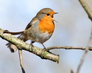 uccellino che canta
